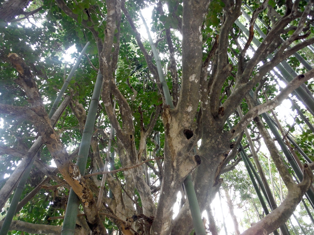 竹やぶのヤブツバキ