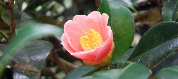 綺麗なピンク色で咲くヤブツバキ